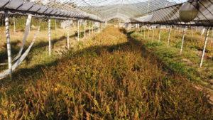 収穫前のえごま畑